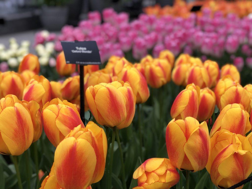A0E68D32 1BA7 4102 B882 AFB36BCFB0D9 1024x768 - Primavera na Holanda - Especial Keukenhof