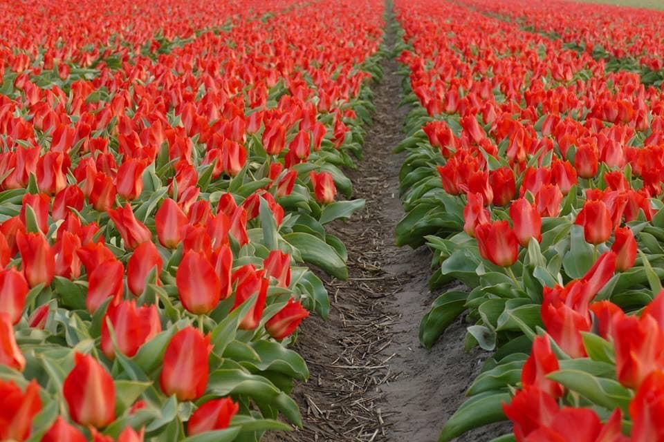 BAE41917 B754 4714 9254 7B1444E6C76F - Primavera na Holanda - Especial Keukenhof